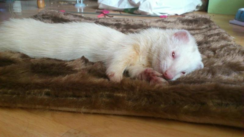Mica, furette albinos -adoptée par Aurélien P. Mica10