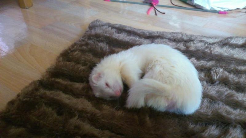 Mica, furette albinos -adoptée par Aurélien P. Mica110