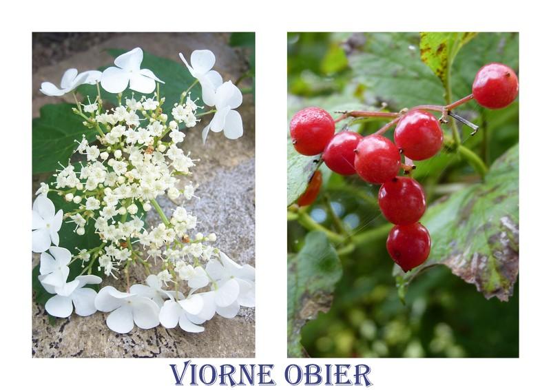 LES FLEURS DE L'ARREE 1ère partie Viorne12
