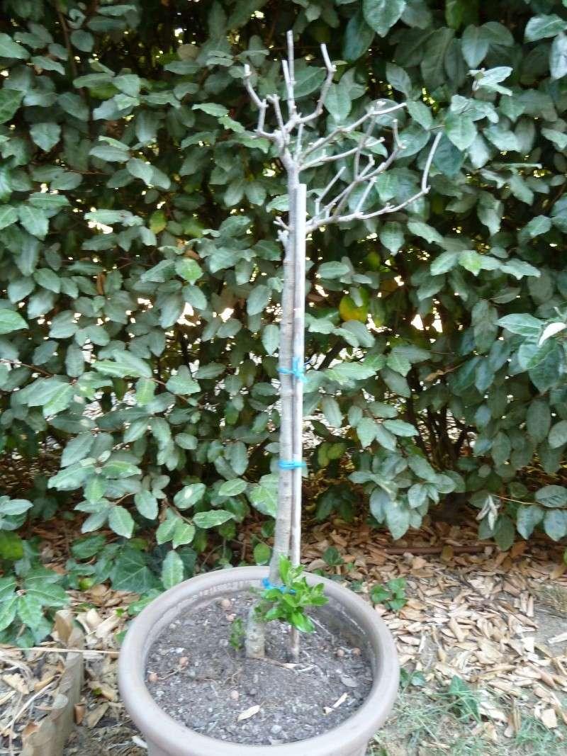 olivier olea europea : nouvelles pousses à identifier? P1050113