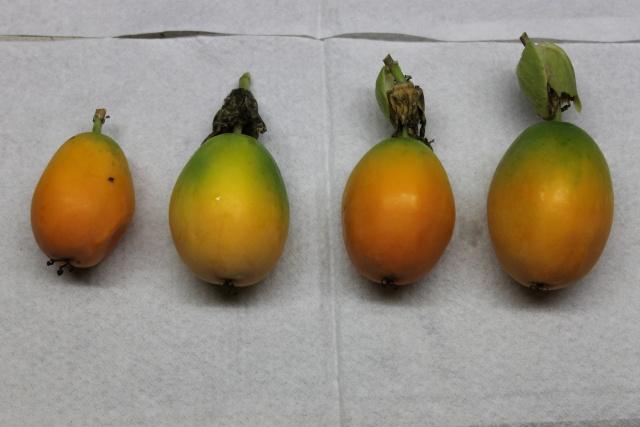 Découvrons les graines des plantes ! Fruits11