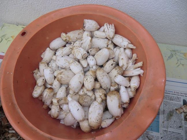 les champignons vont sortir Cimg0911