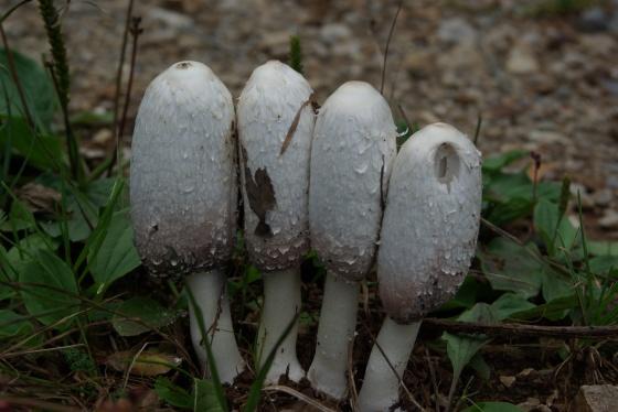 les champignons vont sortir Med-co10