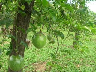 Mon Jardin Venezuelien Cultiv16