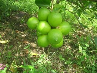 Mon Jardin Venezuelien Dscn5419