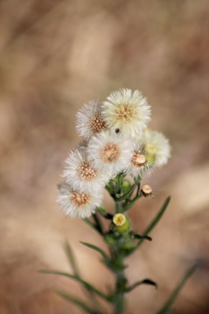 Petite fleur des champs... Img_0315