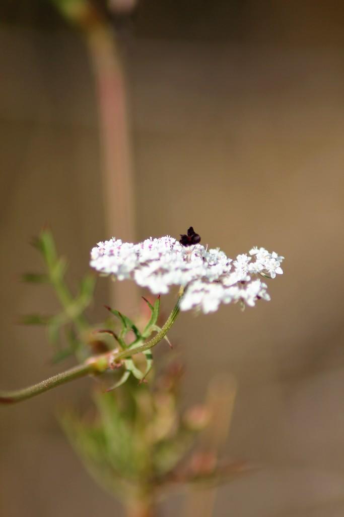 Petite fleur des champs... Img_0316