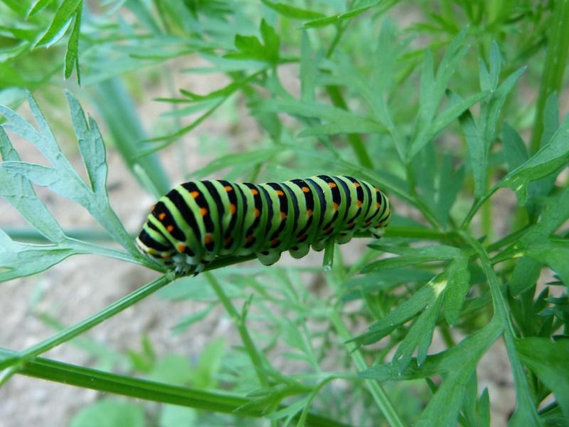 Papilio machaon, P1330411