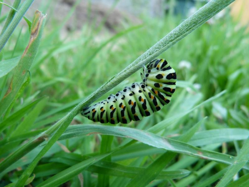 Papilio machaon, P1330412
