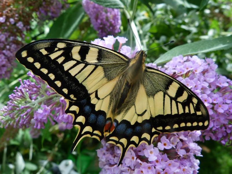 Papilio machaon, P1350110