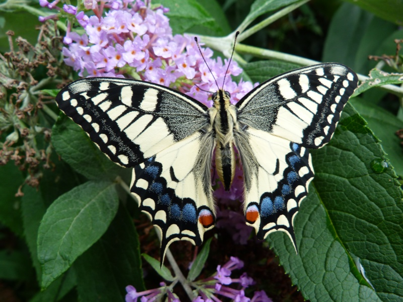 Papilio machaon, P1350710