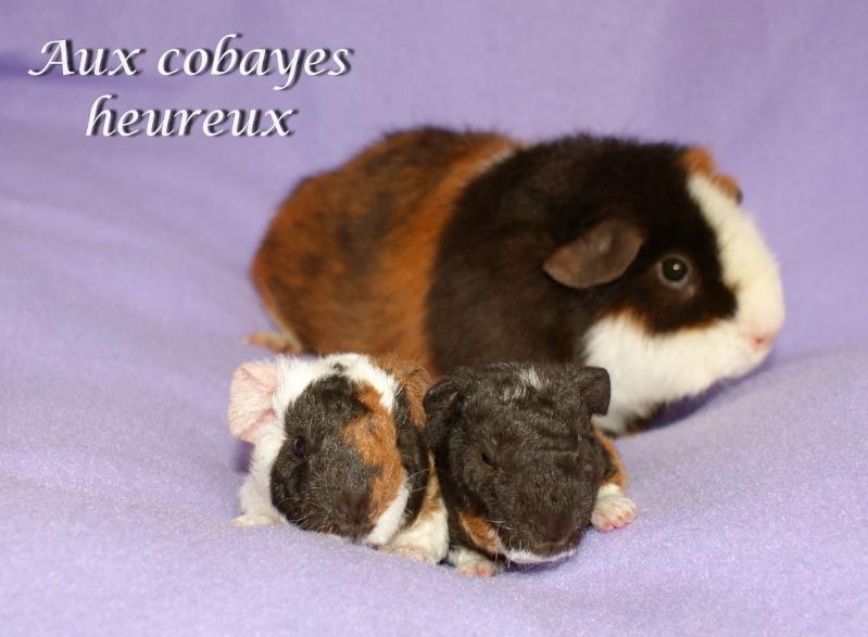 Kaloé et ses 2 bbs Us teddy tricolore: havane-blanc et doré Dsc06610