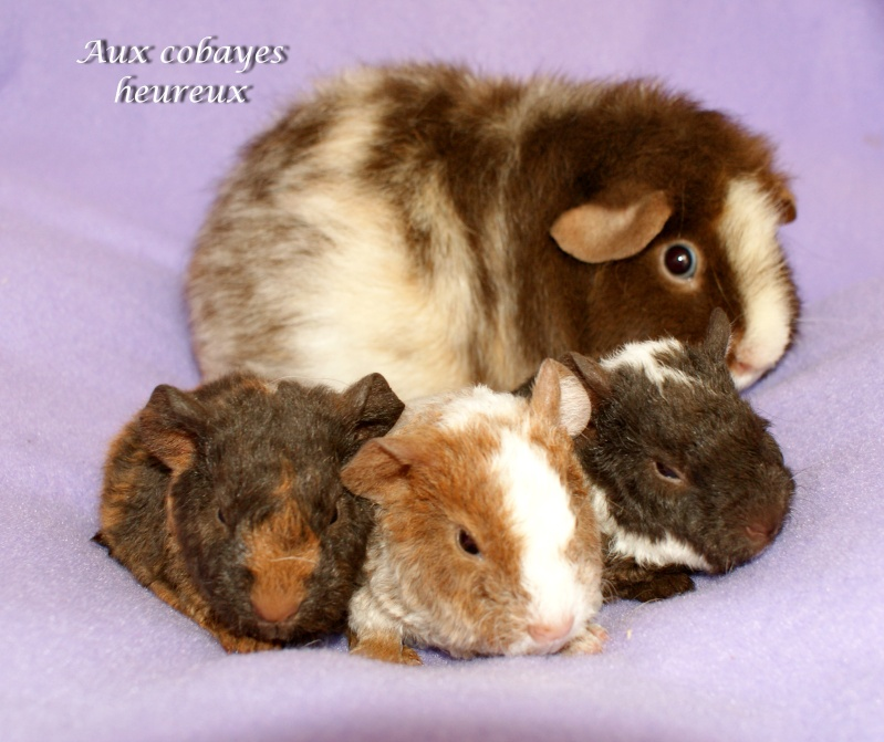 Eglantine, us teddy tricolore rouan, et ses 3 bbs us teddy Dsc06611