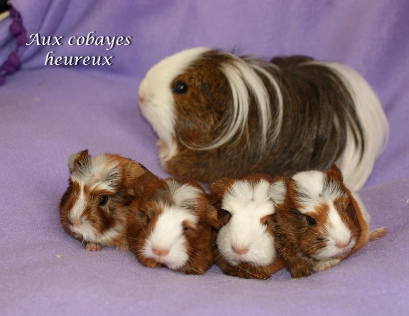 Bianca ( shelty) et ses 4 bbs coronnets Dsc06810