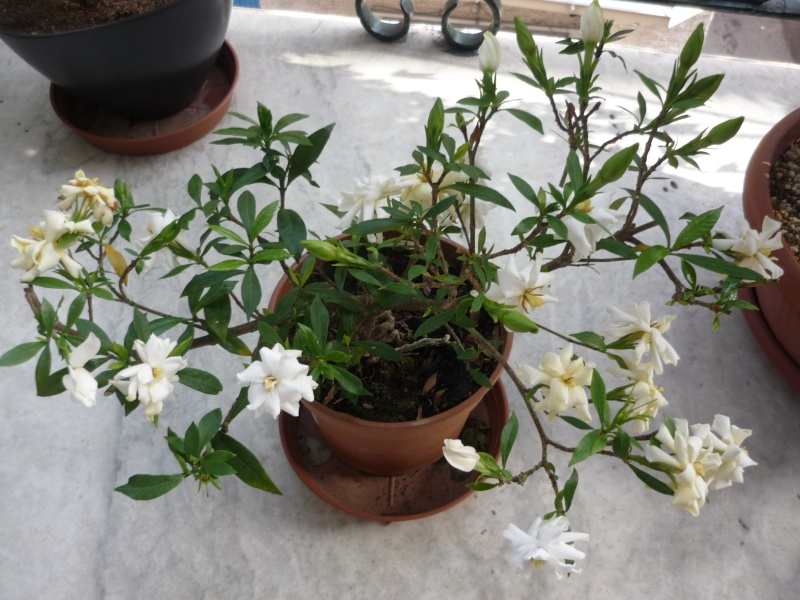 gardenia a piccole foglie - Pagina 2 P1110810