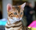 Кошки (Cats) S-618510