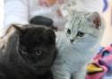 Кошки (Cats) S-650610