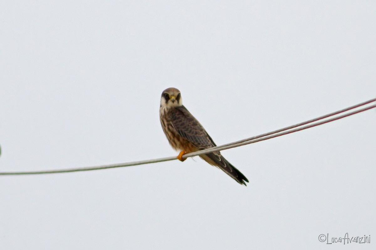 Falco cuculo juv ? _mg_6010