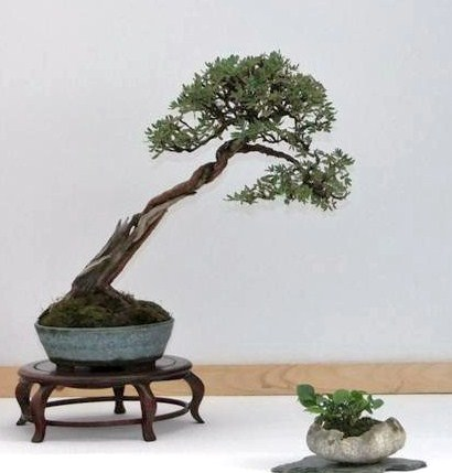 Wirral Bonsai Society Annual Members Show Result 2012 Dscf2512
