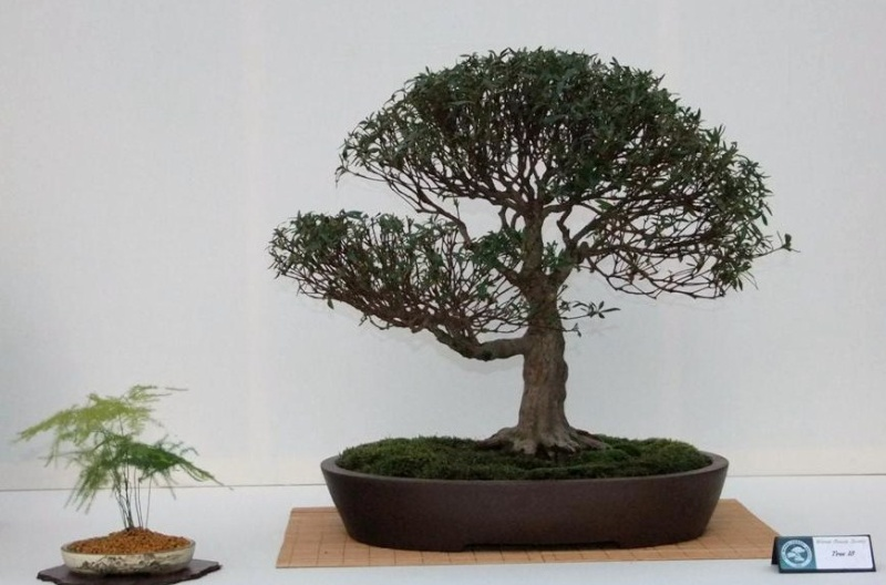Wirral Bonsai Society Annual Members Show Result 2012 Dscf2518