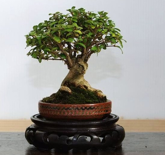 Wirral Bonsai Society Annual Members Show Result 2012 Dscf3010