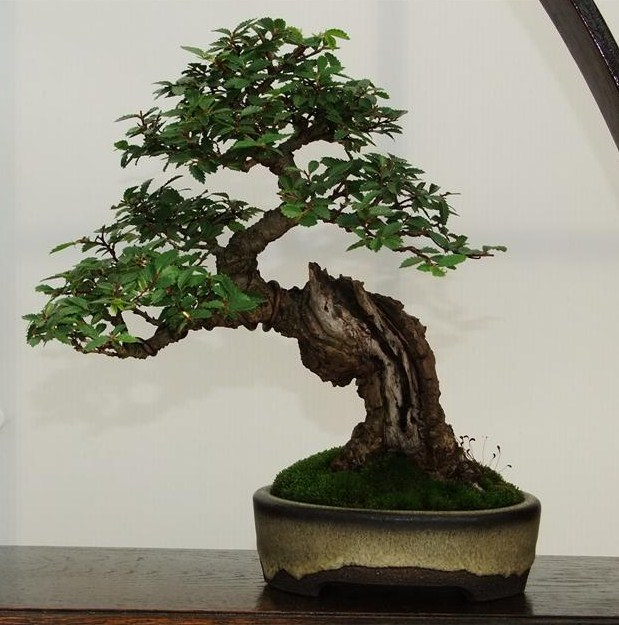 Wirral Bonsai Society Annual Members Show Result 2012 Dscf3013