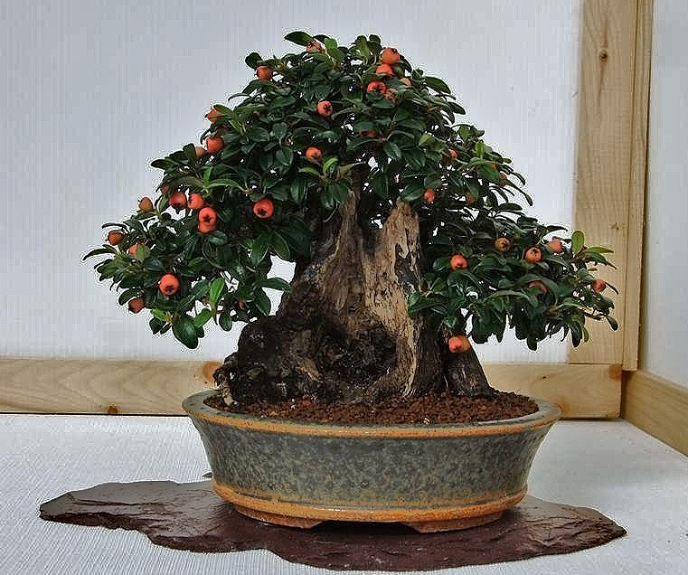 Wirral Bonsai Society Annual Members Show Result 2012 Dscf3016
