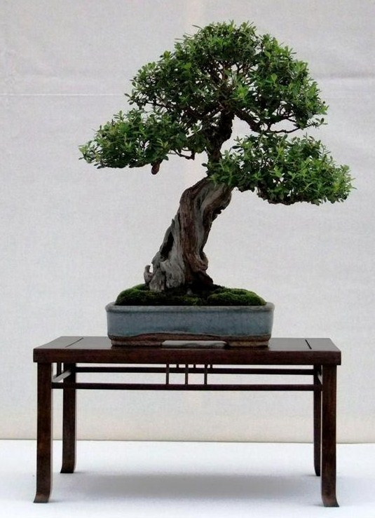 Wirral Bonsai Society Annual Members Show Result 2012 Ian_s_12