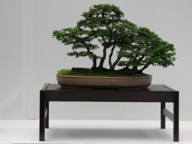 Wirral Bonsai Society Annual Members Show Result 2012 Wirral10