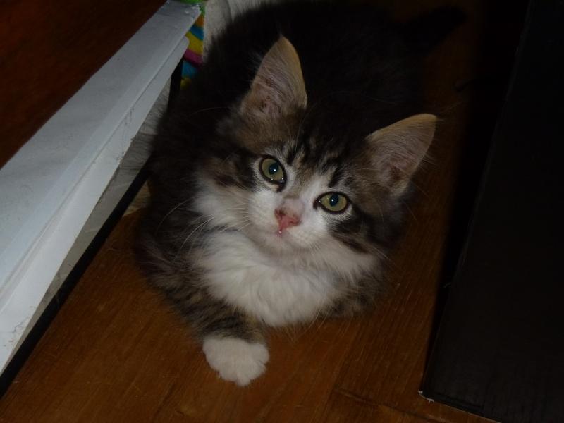 Icare, chaton en famille d'accueil P1000912