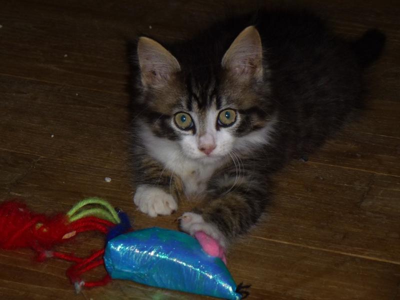Icare, chaton en famille d'accueil P1000913