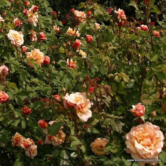 Rosa Caramella  Rose_o10