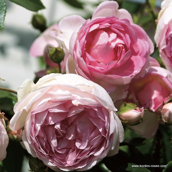 Rosa Jasmina  Rose_r11