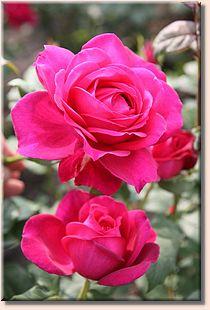 Rosa Parfum de Honfleur  Vignet10