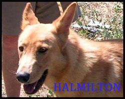 HALMILTON croisé Berger 1 an Hamilt10