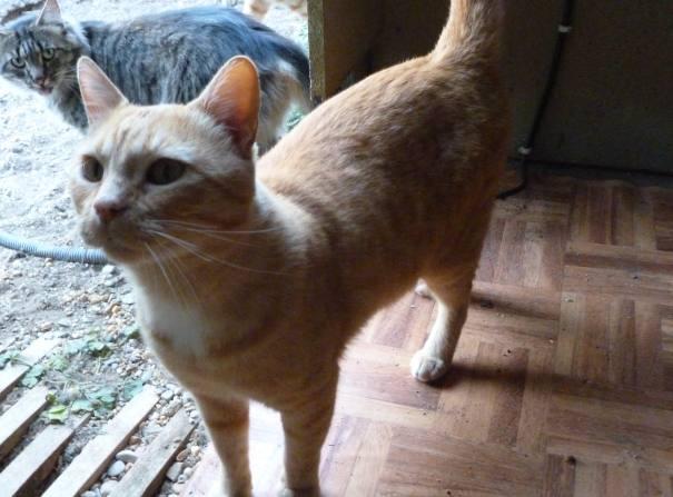 HOMERE chat type européen de 4 ans Omere10