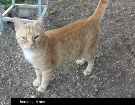 HOMERE chat type européen de 4 ans Omere210