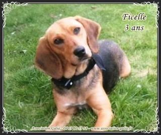 FICELLE femelle croisé beagle 3 ans (ASSO GALIA -86) Ficell14