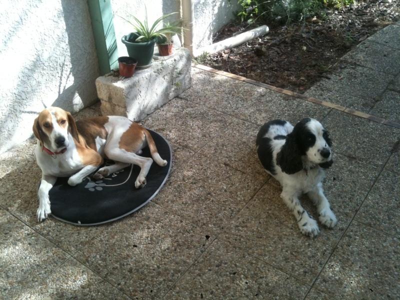 UNO, mâle type beagle, 3 ans (ASSO GALIA - 85) Uno_bm10