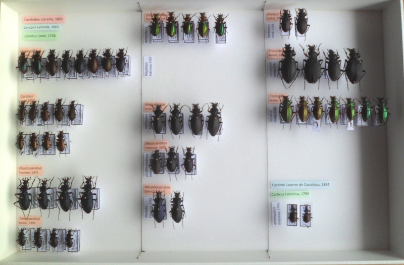 Présentation des collections Entomologiques - Page 6 Sam_5910