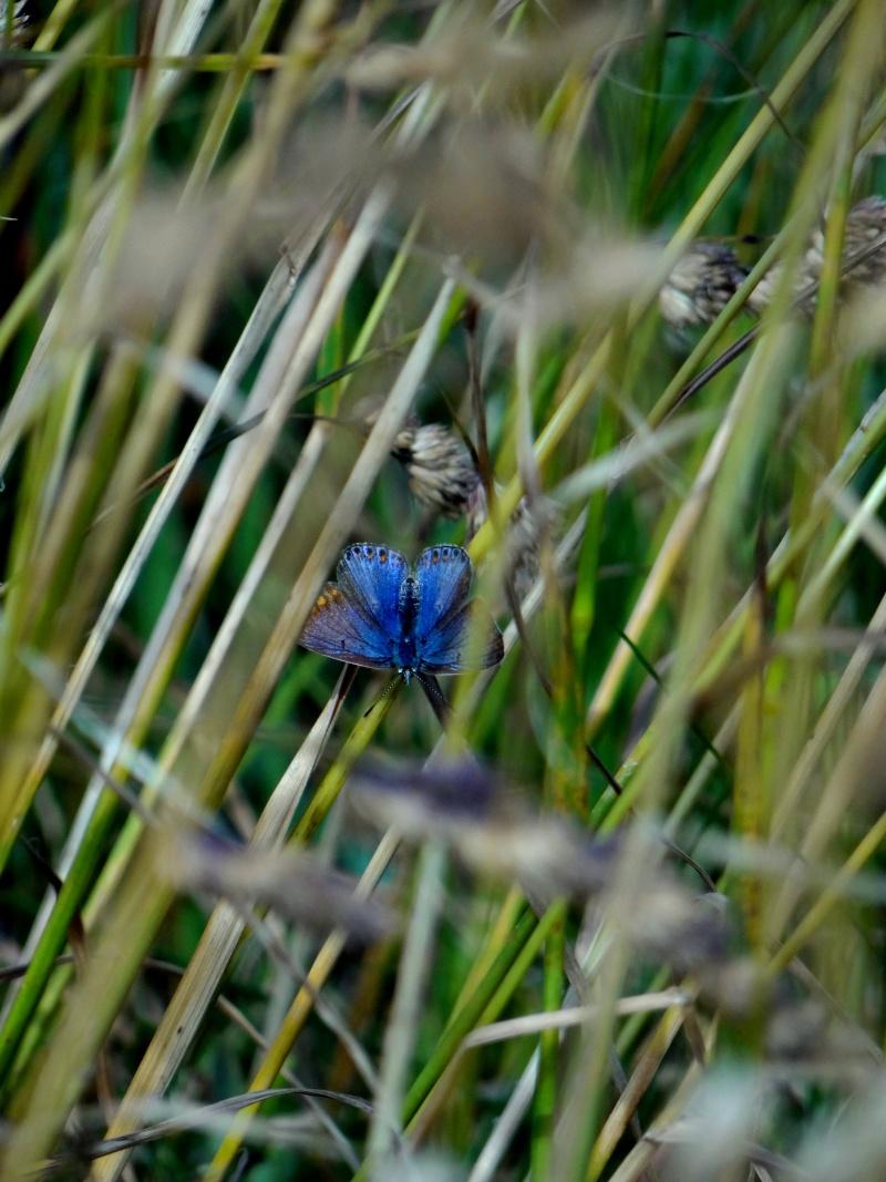 azuré commun femelle forme bleue  07310