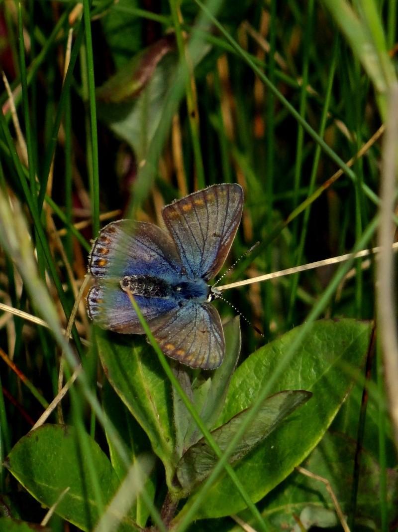 azuré commun femelle forme bleue  08111