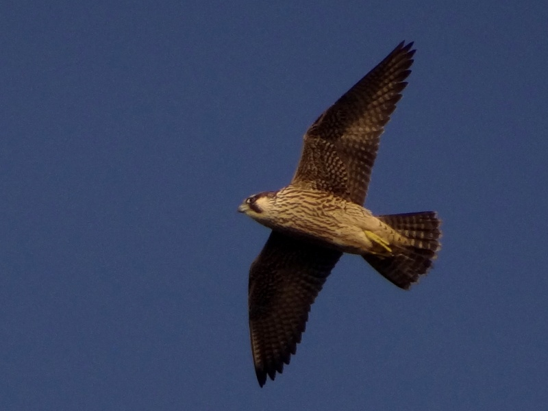 faucon  pèlerin 22611