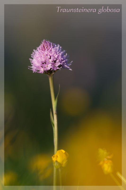 Traunsteinera globosa  ( Orchis globuleux ) Img_3110