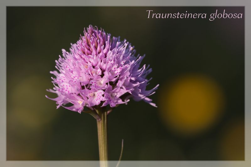 Traunsteinera globosa  ( Orchis globuleux ) Img_3111