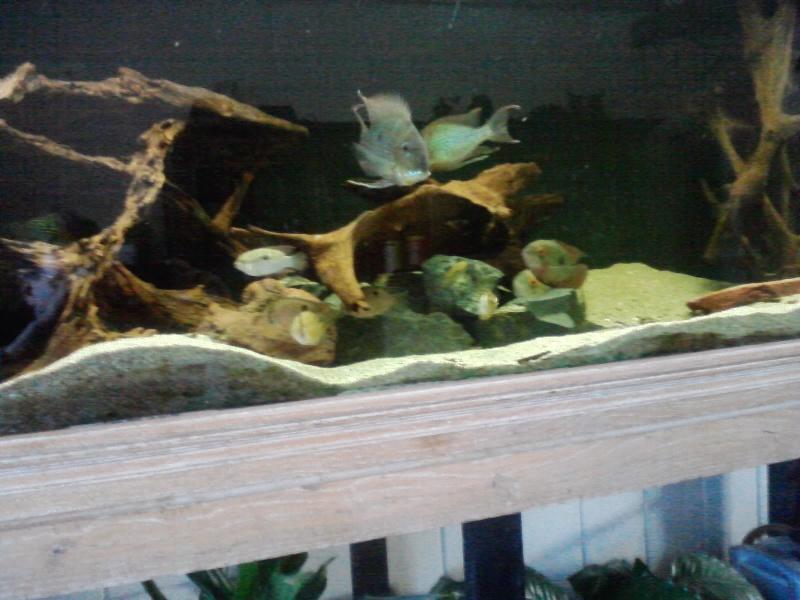 Aquarium 700l amerique du sud (santarem, rio tapajos) P1409110