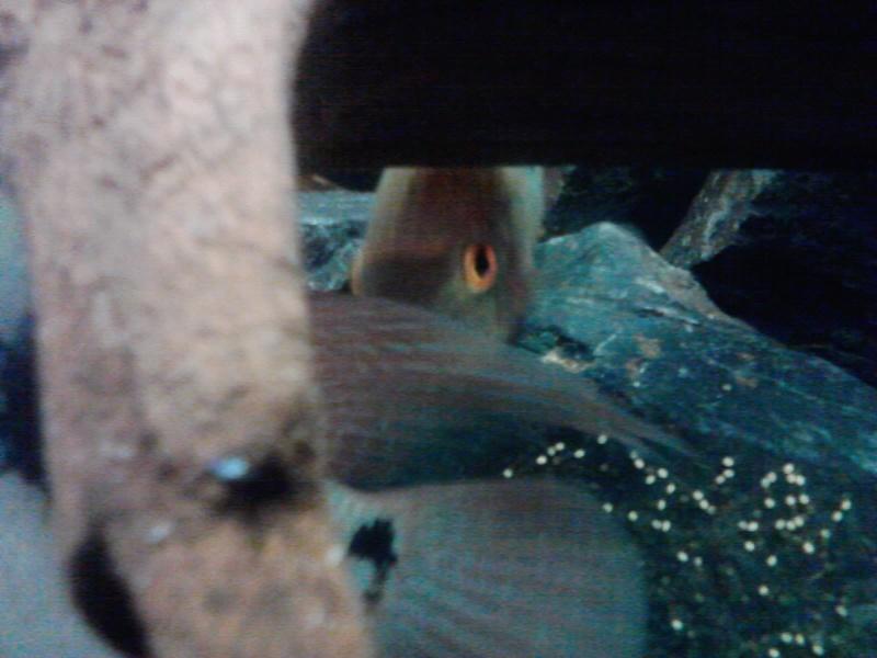 Aquarium 700l amerique du sud (santarem, rio tapajos) - Page 2 P2209110
