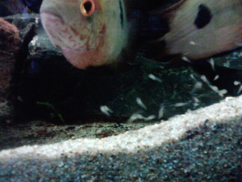 Aquarium 700l amerique du sud (santarem, rio tapajos) - Page 2 P2709110