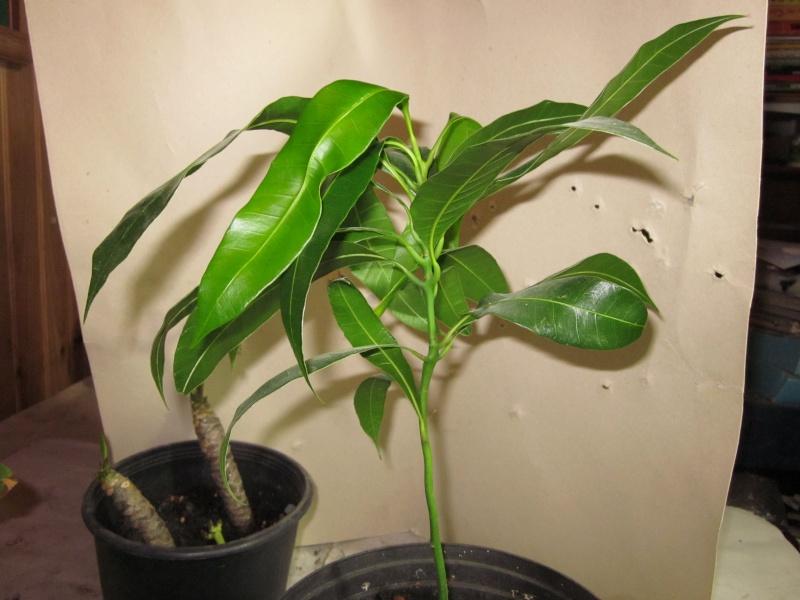 mon premier manguier - Page 2 Img_0611