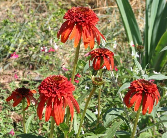 Echinacea - le genre Img_7711